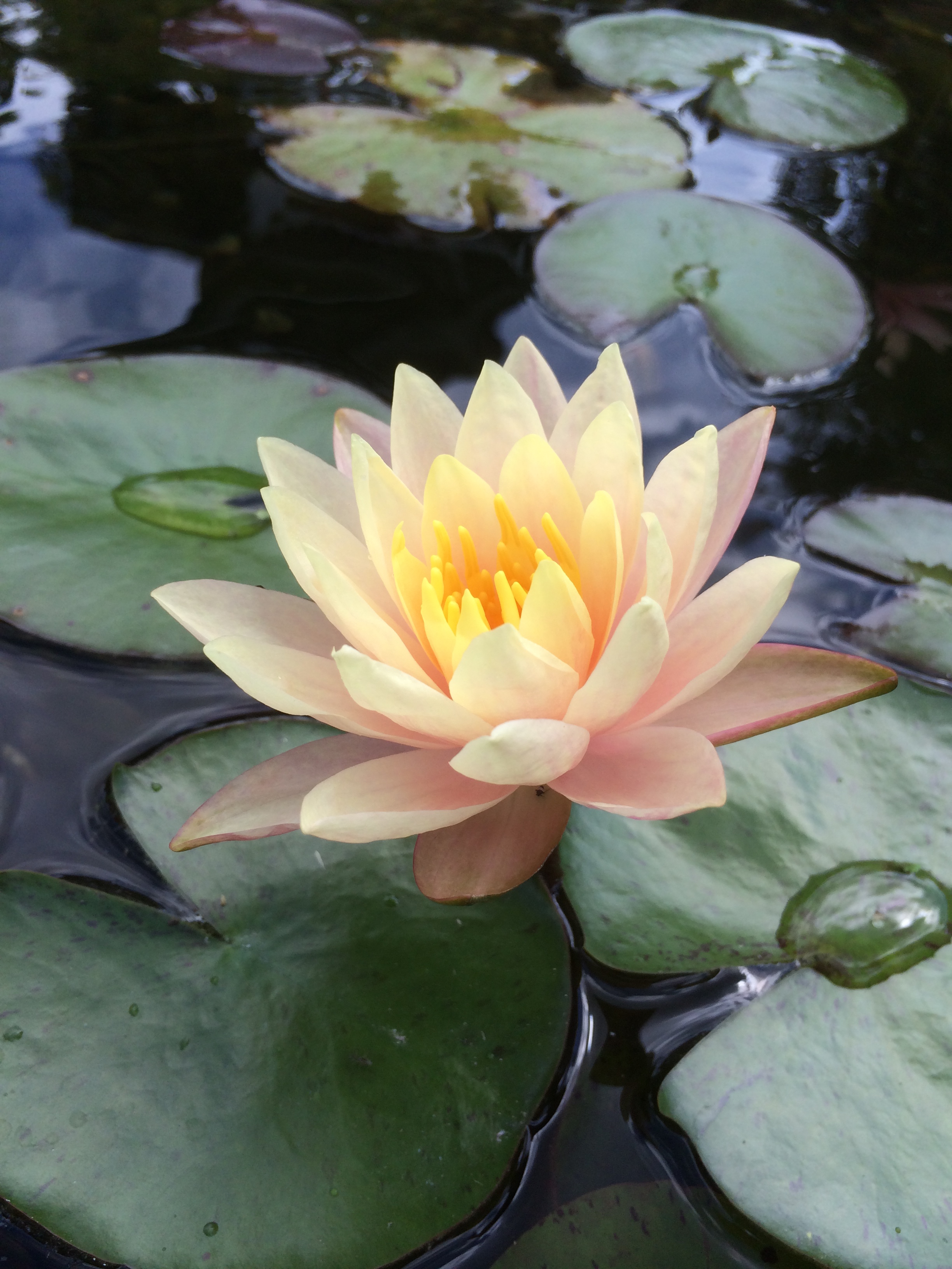 Lotus vs Water Lilies - They Are Not The Same!